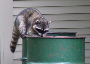How to trap a raccoon