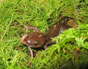 What do salamanders eat