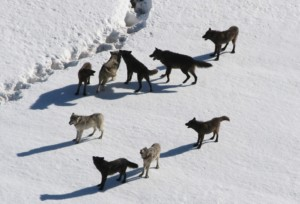 Pack of Wolves Ready to Hunt