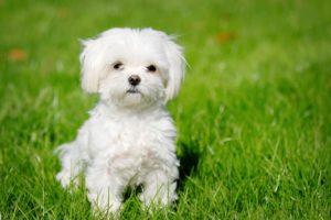 Teacup Maltese Puppies - Miniature Puppy