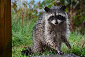 Raccoon Predators