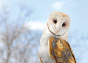 what eats owls