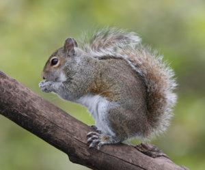 what eats squirrels