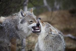 Predators of Wolves