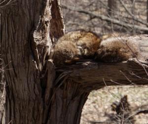 A Raccoon sleeping
